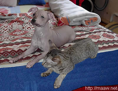 oriental cat and and mexican nacked dog