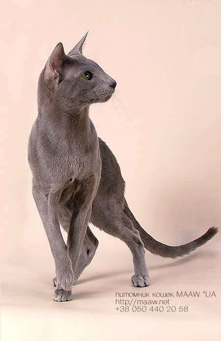 oriental short hair cat