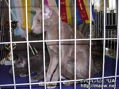 Kids in a cell (oriental cat Afrodita Maaw *UA)
