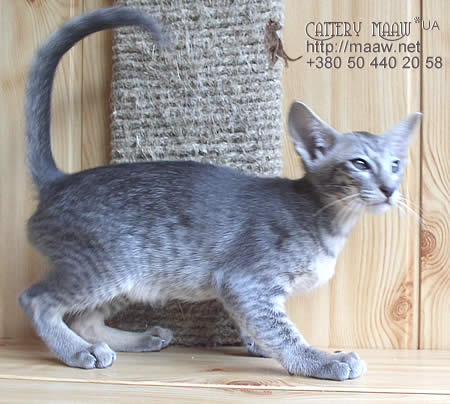 kitten Fantasia Maaw *UA, color: blue spotted