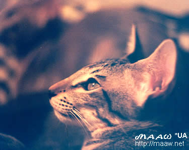 oriental short hair cat Arnold Maaw *UA