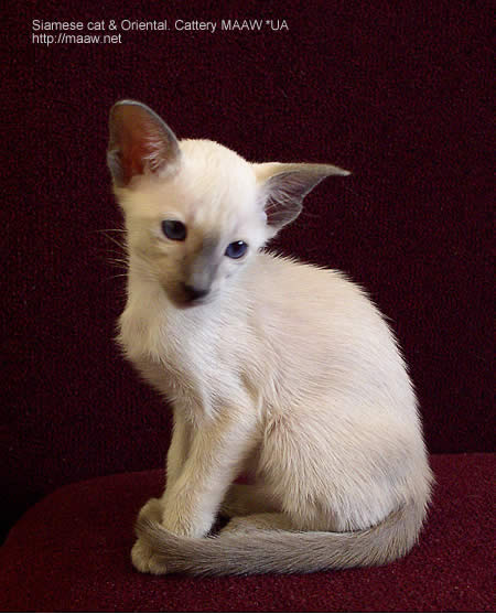 blue point siamese, Bianka Maaw *UA
