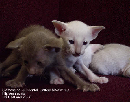 Siamese and oriental kittens